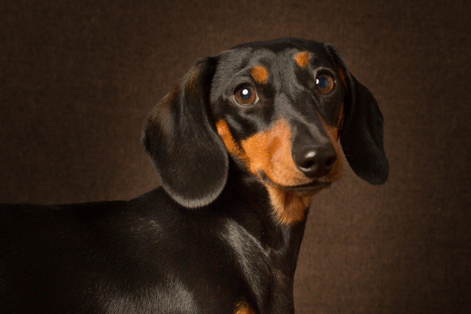 Smooth Haired Dachshund pet photography Farnham