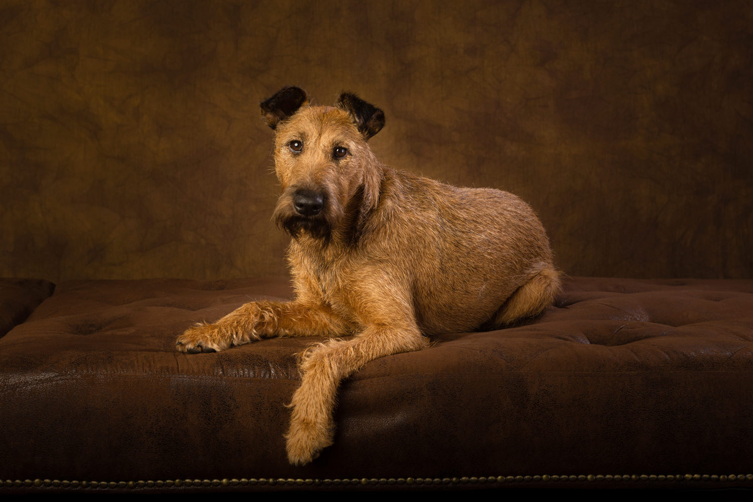 Irish Terrier Dog portraits
