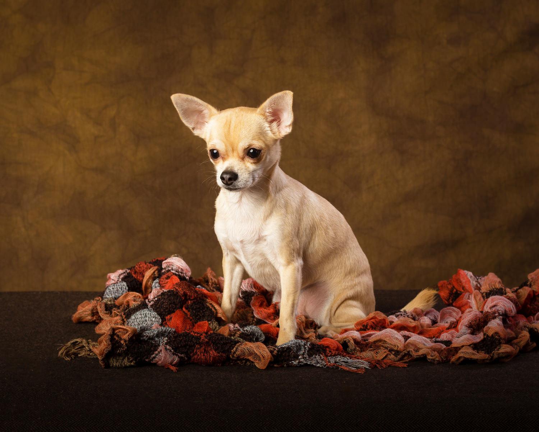 Chihuahua portraits