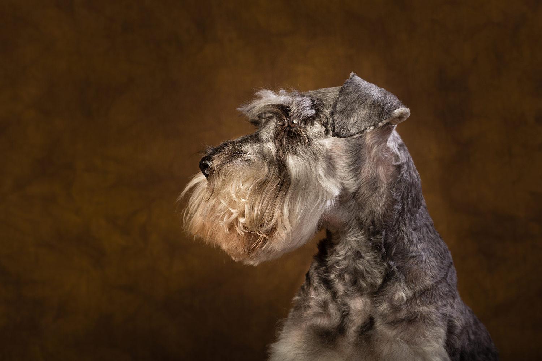 Pet portraits in Surrey - miniature schnauzer