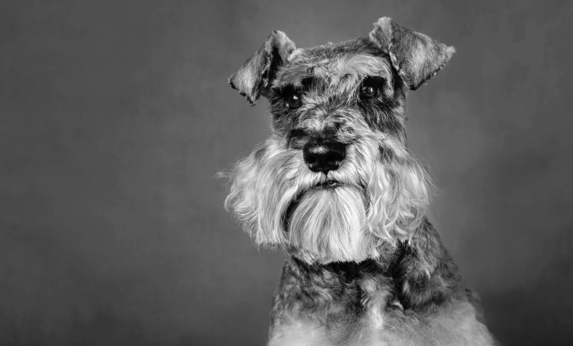 Dog portrait surrey miniature schnauzer