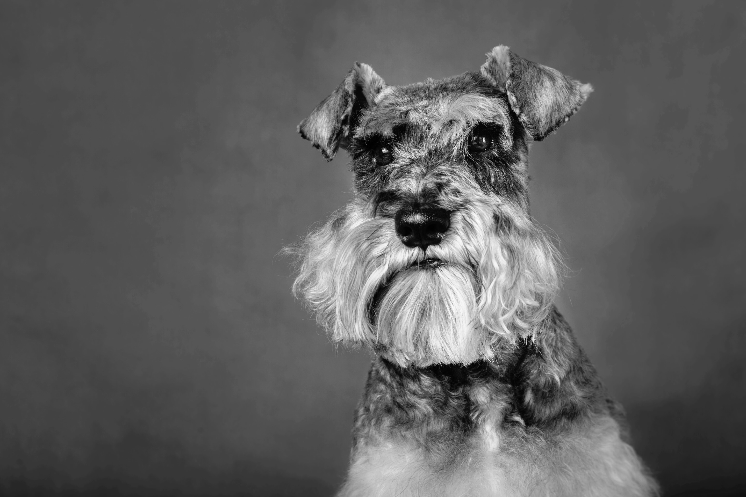 Dexter the Miniature Schnauzer