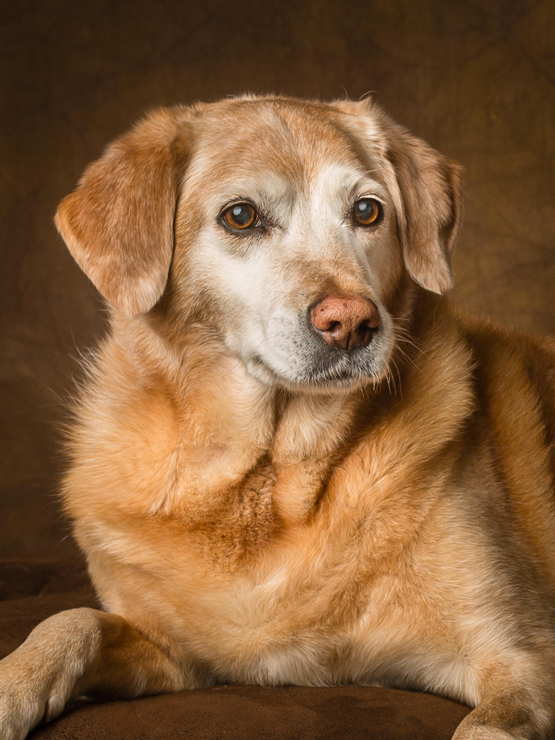 Elderly labrador