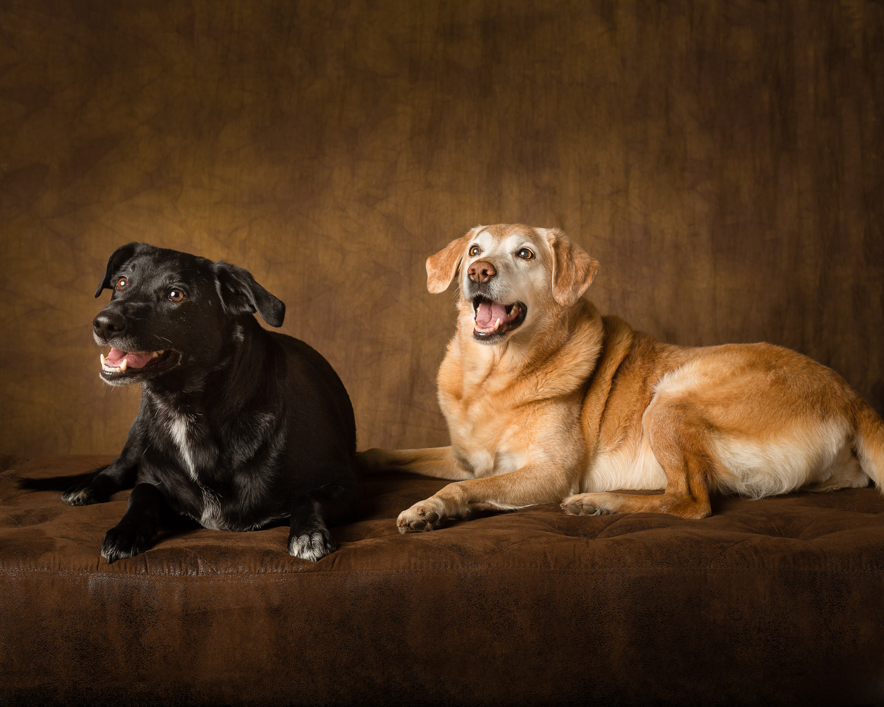 Two Cheeky Labrador Cross Dogs