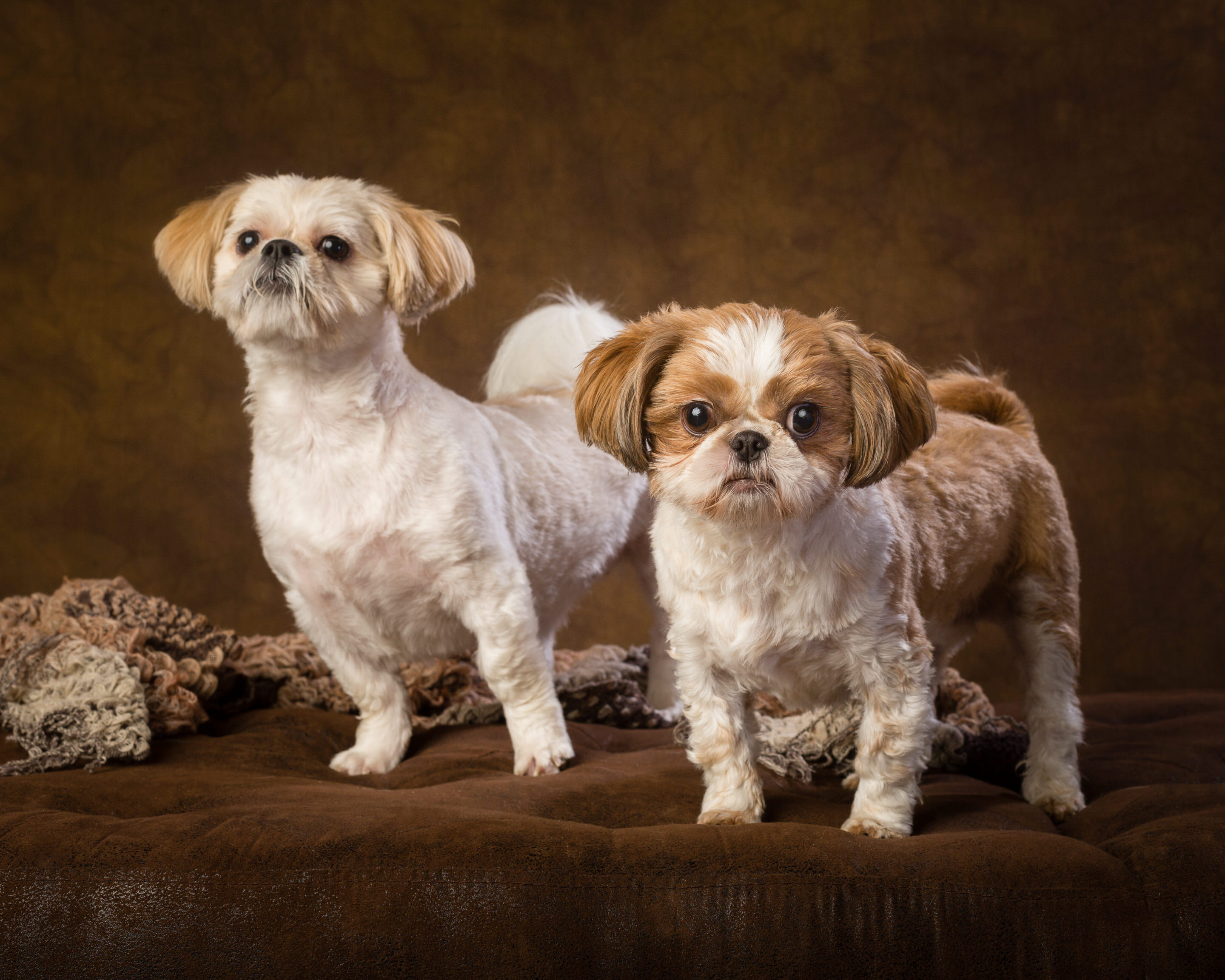 How cute are these two Shitzu dogs!