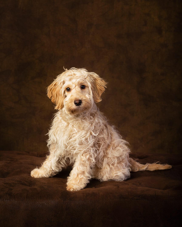 A golden cockapoo puppy!