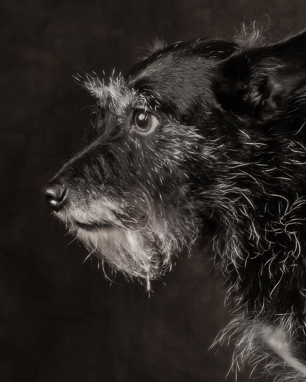 Tilly the Terrier Cross