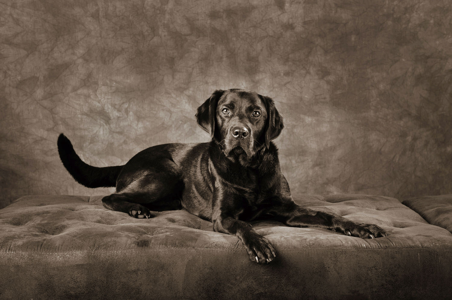 Portrait of Two Black Labradors