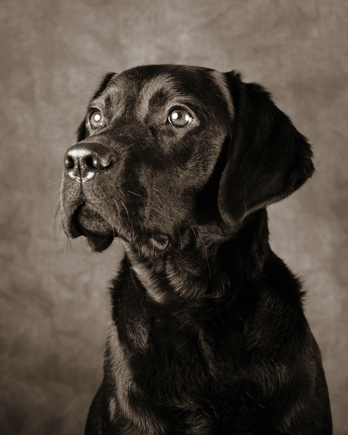 Portrait two black labradors