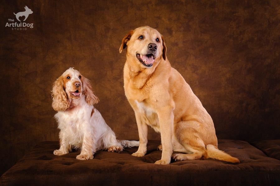 Cocker Spaniel and Labrador – Poppy & Tosca