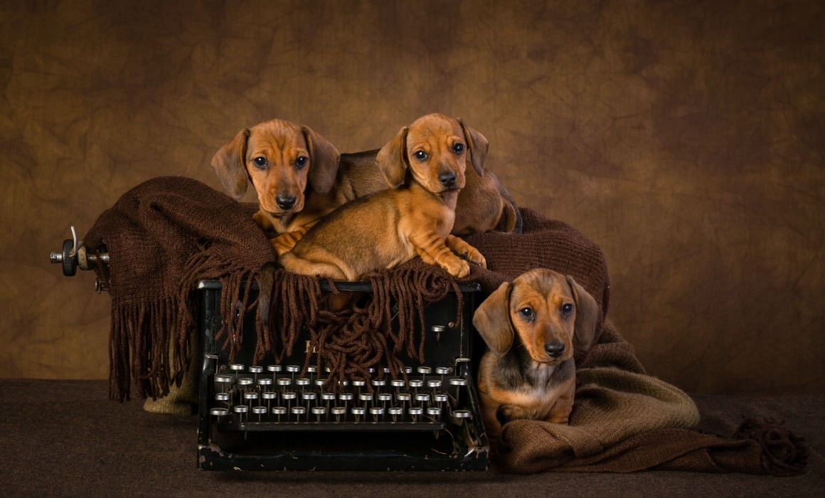 Smooth haired miniature dachschund puppies