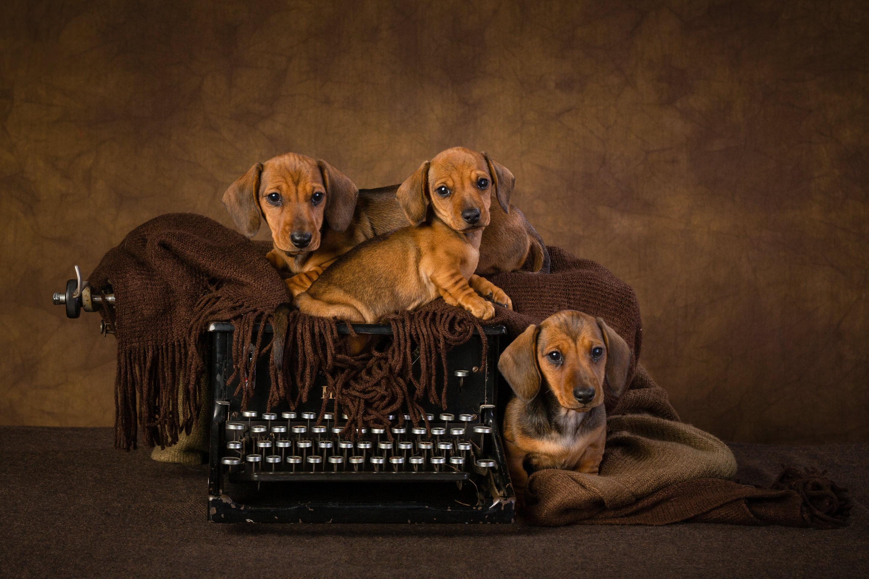 Smooth haired miniature dachschund puppies