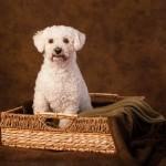 Bichon poodle cross
