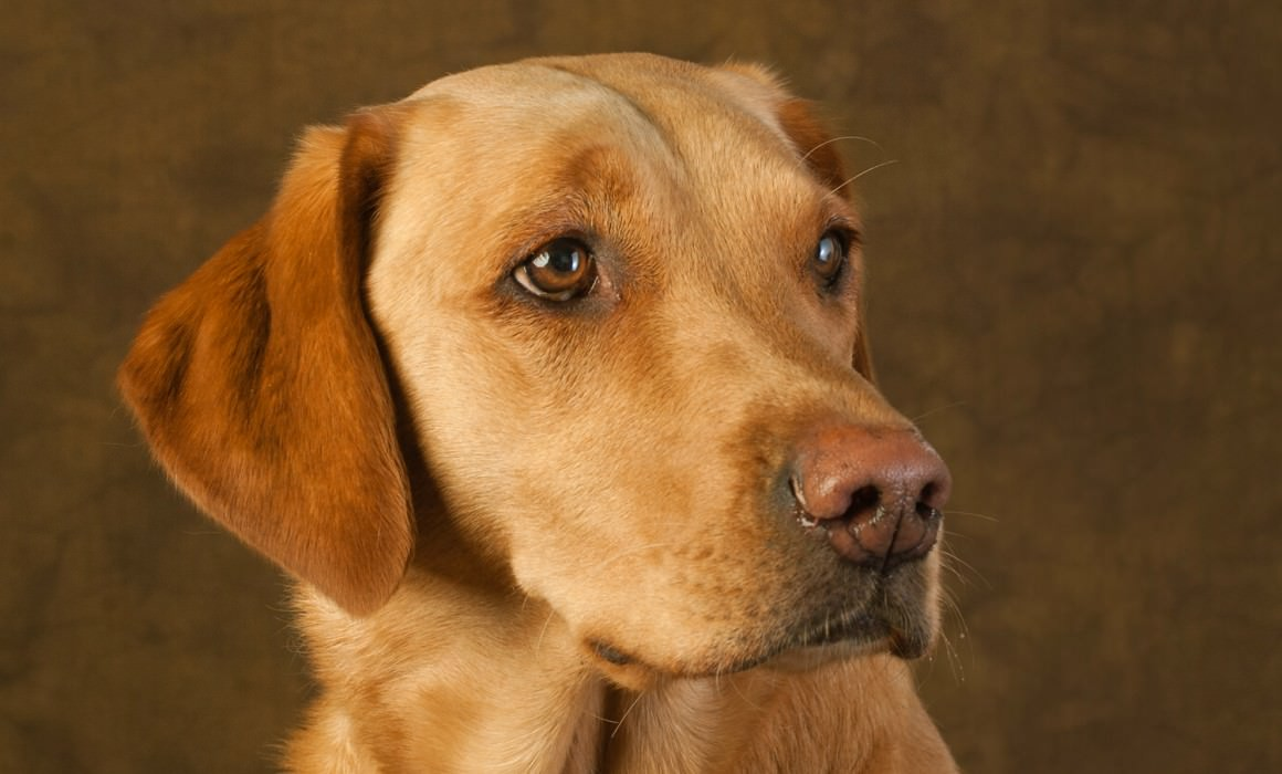 Labrador Portraits