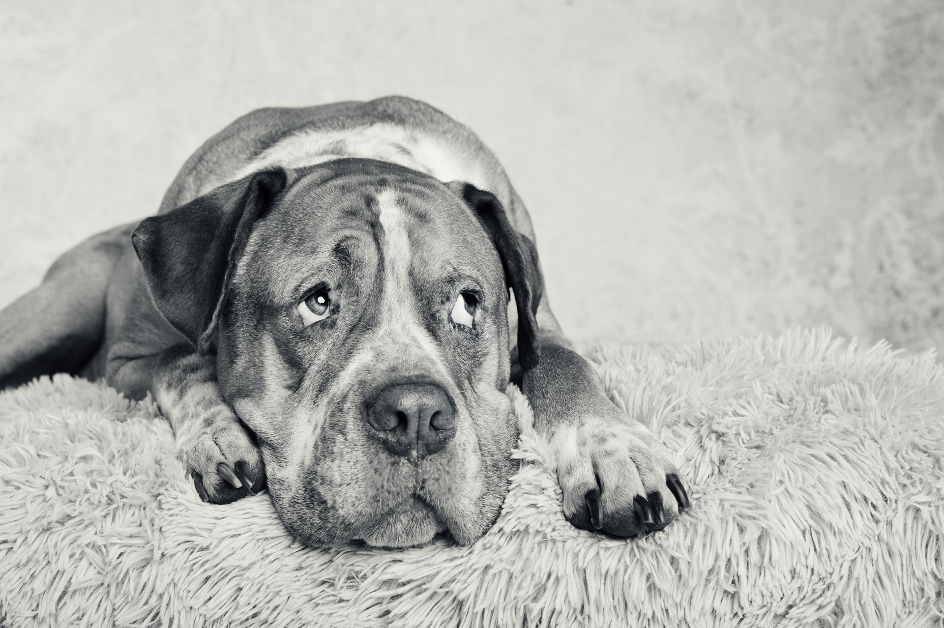 The-Artful-Dog-Studio-Dog-Photographer-4-1